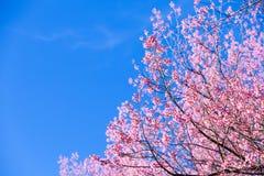 Beautiful pink cherry blossom (Sakura) flower at full bloom on b Stock Photo