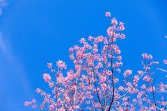 Beautiful pink cherry blossom (Sakura) flower at full bloom  Stock Photo
