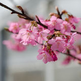 Beautiful pink cherry blossom (Sakura) Royalty Free Stock Photography