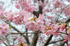 Beautiful pink cherry blossom (Sakura) Royalty Free Stock Photo