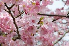 Beautiful pink cherry blossom (Sakura) Stock Photo