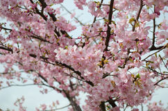 Beautiful pink cherry blossom (Sakura) Royalty Free Stock Photos
