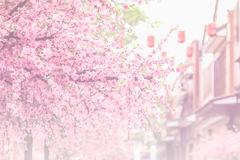 Beautiful pink cherry blossom (Sakura) flower, and soft focus pr Stock Photography