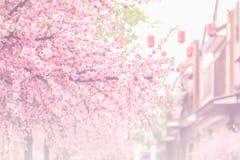 Beautiful pink cherry blossom (Sakura) flower, and soft focus pr Stock Photography