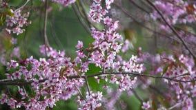 Cherry blossom, sakura flowers stock video footage
