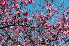 Beautiful pink cherry blossom Sakura flowers over a blue sky. royalty free stock photo