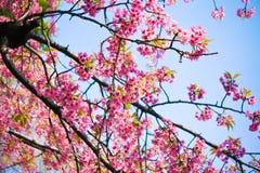 Beautiful pink cherry blossom (sakura) Royalty Free Stock Image