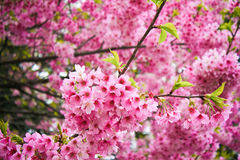 Beautiful pink cherry blossom (sakura) Stock Image