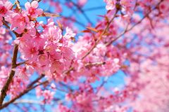 Beautiful pink cherry blossom in spring. Stock Photos