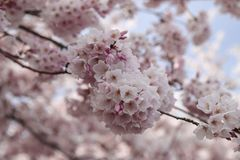 Beautiful pink cherry blossom on branch stock photography