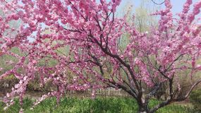 Beautiful pink cherry blossom tree in its full bloom in spring stock photography