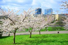 Beautiful pink cherry blossom in Vilnius city Royalty Free Stock Images