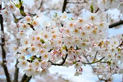 Beautiful pink cherry blossom in Vilnius city Royalty Free Stock Photos