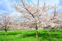 Beautiful pink cherry blossom in Vilnius city Royalty Free Stock Photography