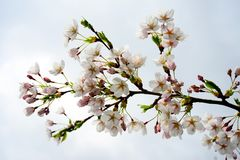 Beautiful pink cherry blossom in Vilnius city Stock Photography