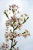 Beautiful pink cherry blossom in Vilnius city Stock Photo