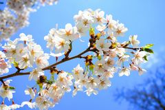 Beautiful pink cherry blossom in Vilnius city Stock Images