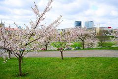Beautiful pink cherry blossom in Vilnius city Royalty Free Stock Image