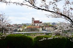 Beautiful pink cherry blossom in Vilnius city Royalty Free Stock Photo