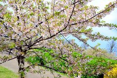 Beautiful pink cherry blossom in Vilnius city Stock Image