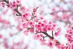 Beautiful pink cherry blossoms in garden stock photography