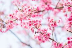 Beautiful pink cherry blossoms in garden royalty free stock photos
