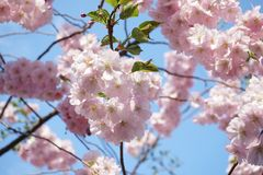 Дзенbeautiful pink cherry blossoms on a background of blue bright sky. Beautiful pink cherry blossoms background blue bright sky royalty free stock photography
