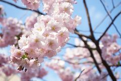 Дзенbeautiful pink cherry blossoms on a background of blue bright sky. Beautiful pink cherry blossoms background blue bright sky stock image