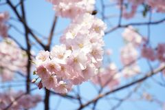 Beautiful pink cherry blossoms on a background of blue bright sky. Beautiful pink cherry blossoms background blue bright sky stock photography