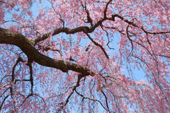 Beautiful pink cherry blossoms blooming Royalty Free Stock Images