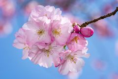 Beautiful pink cherry blossoms Stock Photography