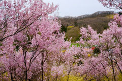 Beautiful pink cherry blossoms on the hill,Hanamiyama Park,Fukushima,Tohoku,Japan. Hanamiyama Park is a privately-owned field for growing flowering and Stock Images
