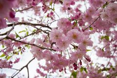 Beautiful pink cherry blossoms at Sumida park,Taito-ku,Tokyo,Japan in spring. Sumida park is located along the Sumida River,Asakusa,Hanakawado,Taito-ku,Tokyo Royalty Free Stock Photography