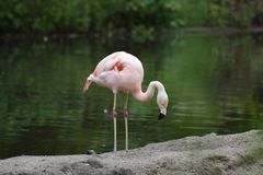 Beautiful Pink Chilean Flamingo in a Pond. Beautiful Pink Chilean Flamingo Sipping Some Water Stock Photography