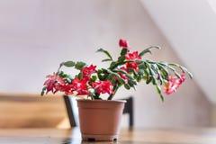 Beautiful pink Christmas Cactus in a clay pot Stock Photos