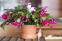 Beautiful pink Christmas Cactus in a clay pot Stock Photography