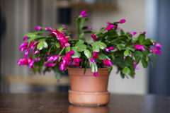 Beautiful pink Christmas Cactus in a clay pot. Beautiful blooming pink Christmas Cactus in a clay pot Stock Photo