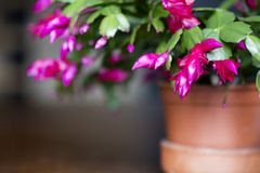 Beautiful pink Christmas Cactus in a clay pot Stock Images