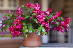Beautiful pink Christmas Cactus. Close up of a Beautiful blooming pink Christmas Cactus royalty free stock images