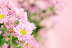 Beautiful pink chrysanthemum flower Stock Images