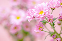 Beautiful pink chrysanthemum flower Royalty Free Stock Image