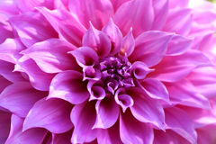 Beautiful pink chrysanthemum flower closeup, Chiang Mai, Thailan Stock Photo