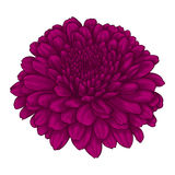 Beautiful pink chrysanthemum flower. effect watercolor isolated on white background. Royalty Free Stock Photo