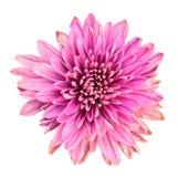 Beautiful pink chrysanthemum Stock Photos