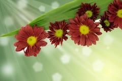 Beautiful Pink Chrysanthemum flower Royalty Free Stock Photography