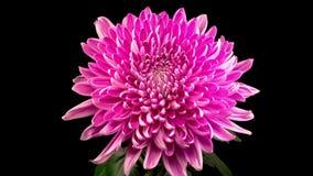 Beautiful pink chrysanthemum flower opening stock footage