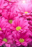 Beautiful pink chrysanthemum flower with sunbeam Stock Images