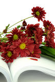 Beautiful Pink Chrysanthemum flower Stock Photos