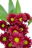 Beautiful Pink Chrysanthemum flower Stock Image