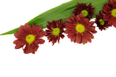 Beautiful Pink Chrysanthemum flower Stock Images